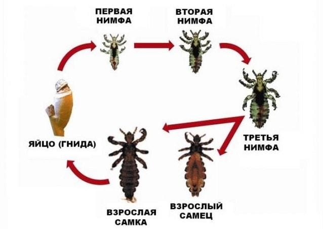 этапы развития вшей