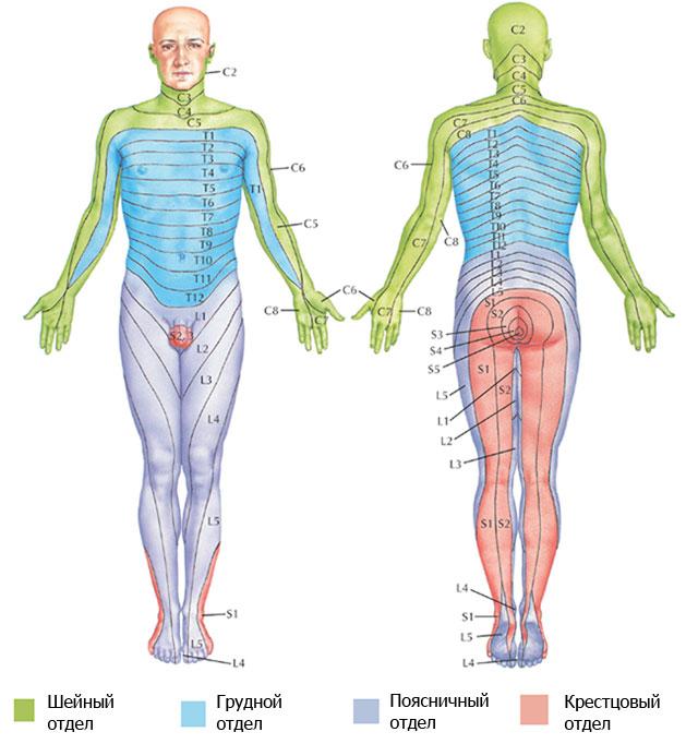 проекции иннервации частей тела