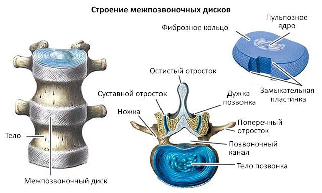 строение позвонка и межпозвоночного диска