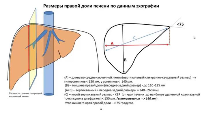Размеры печени по УЗИ у взрослого