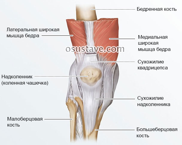 строение коленного сустава