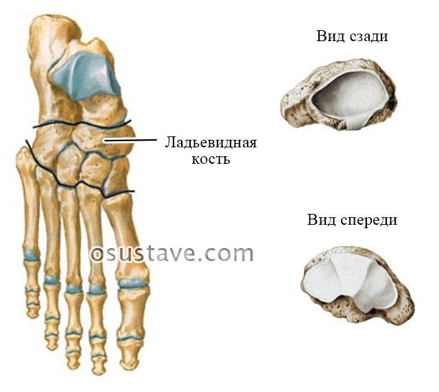 строение ладьевидной кости
