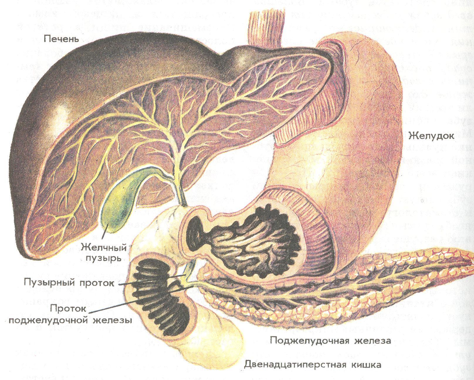 Печень и поджелудочная железа симптомы болезней