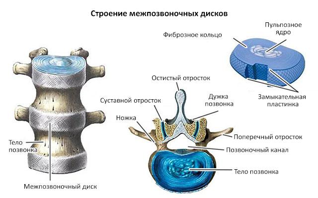 строение тела позвонков