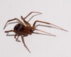Ядовитые пауки и их укусы