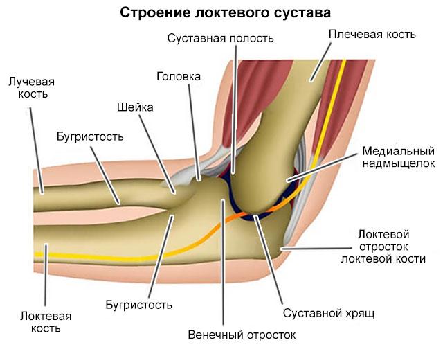 Строение локтевого сустава в картинках