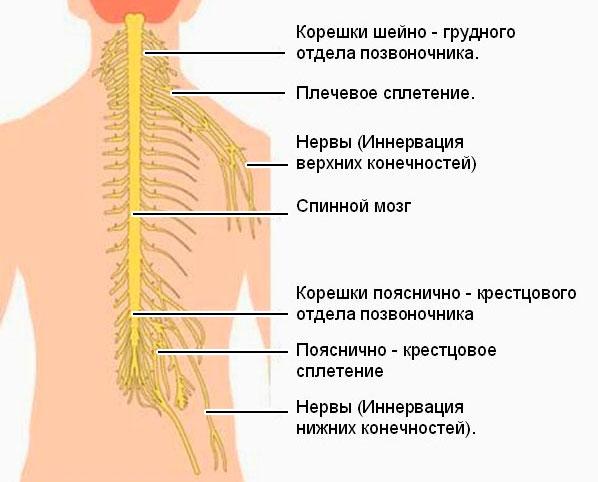 сплетения спинномозговых нервов