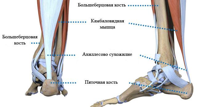 месторасположение ахиллова сухожилия