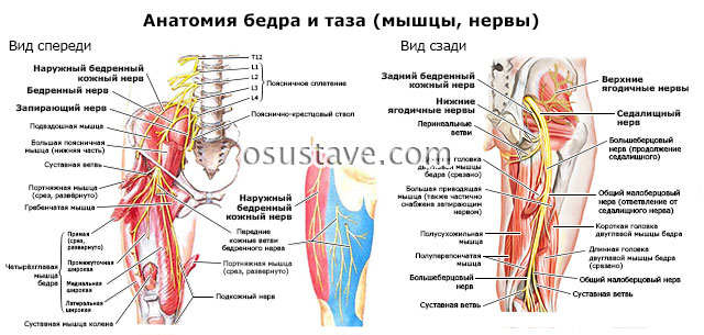 анатомия бедра и таза, нервы, мышцы