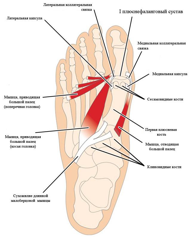 первый плюснефаланговый сустав стопы и мышцы, действующие на большой палец