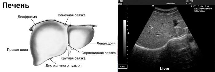 Что показывает УЗИ печени при гепатите C?