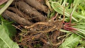 Мазь из корня лопуха - рецепт