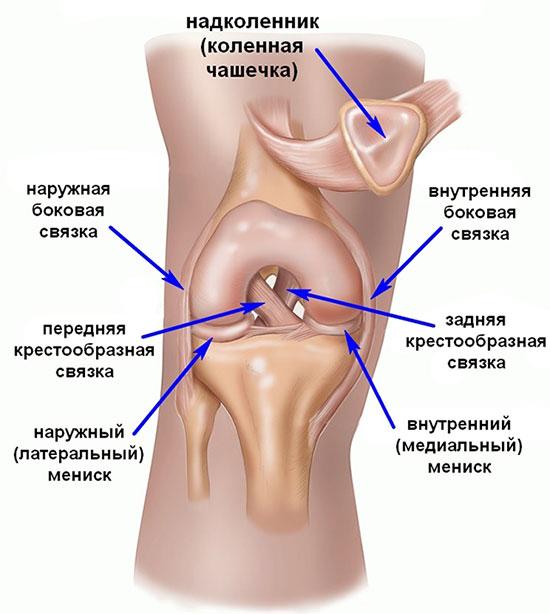 строение коленного сустава, с мениском