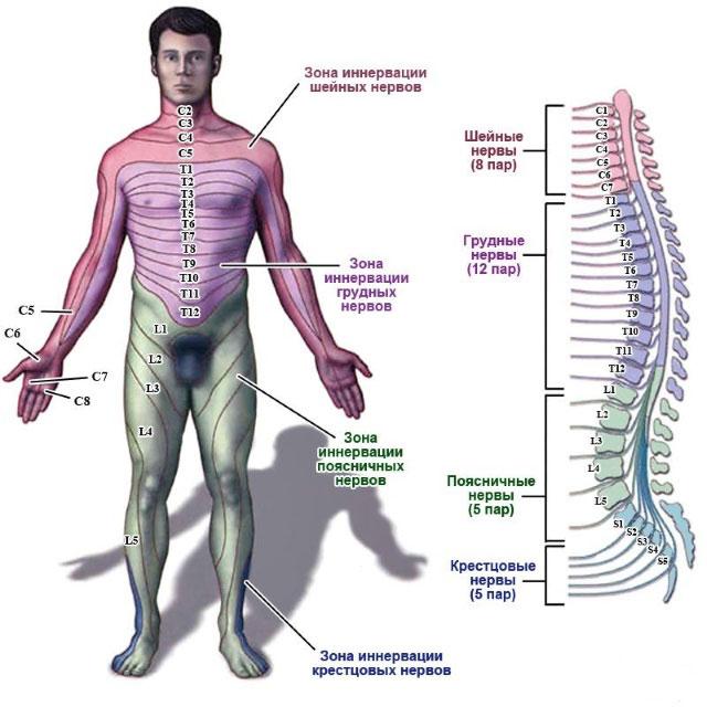 зоны иннервации спинномозговых сегментов