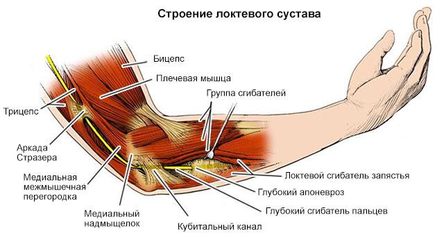 строение локтевого сустава