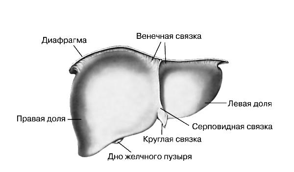 Строение печени человека