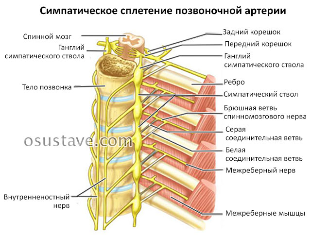 симпатическое сплетение позвоночной артерии